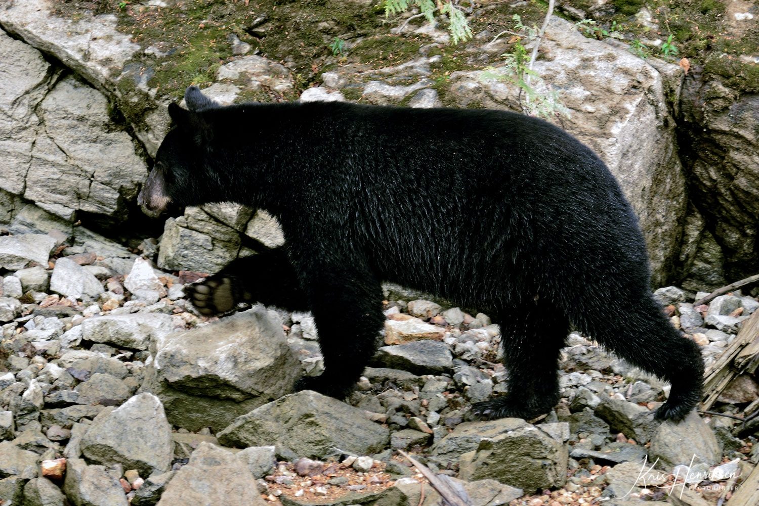 Black bear Blue River