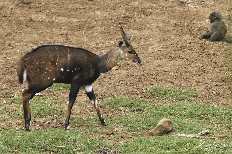 Antilope han Aberdare