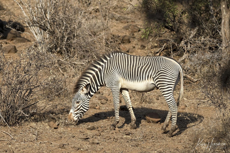 Grevy zebra Samburu