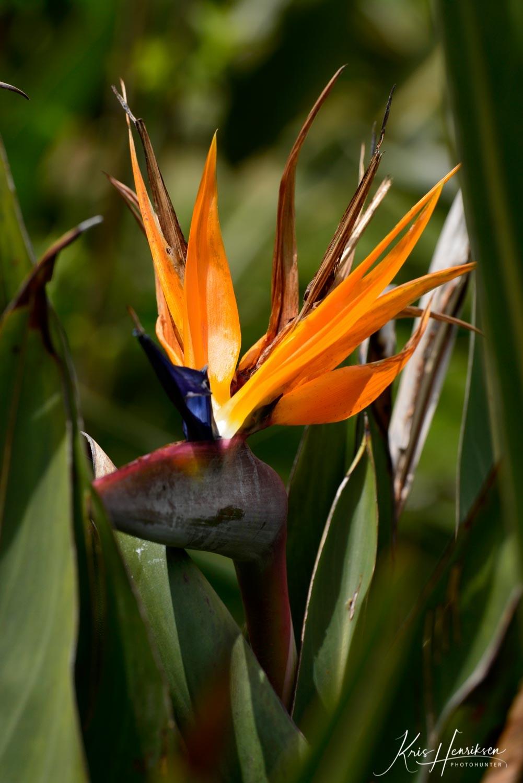 Papegøje blomst