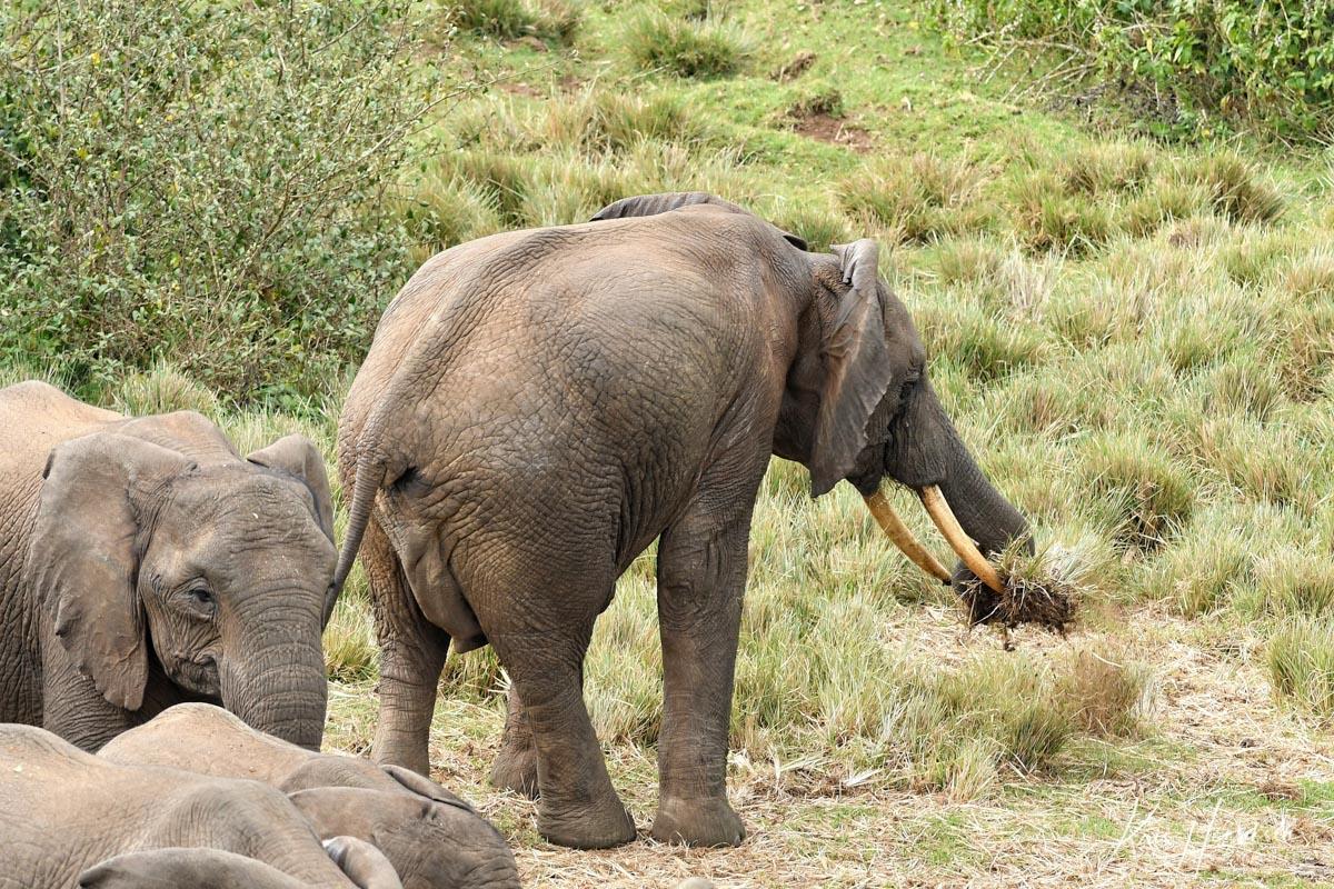Elefant Aberdare