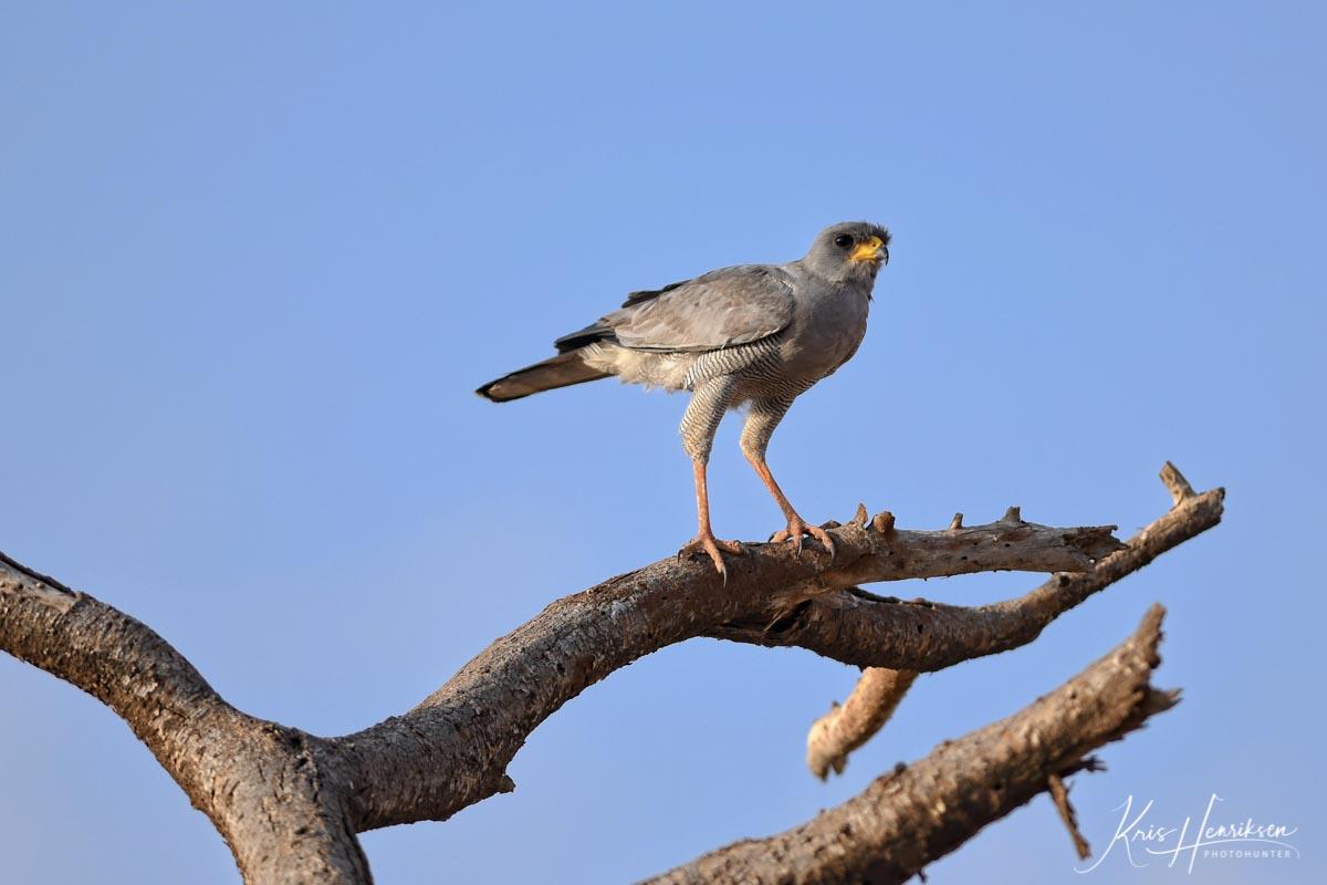 Lys Sanghøg Samburu