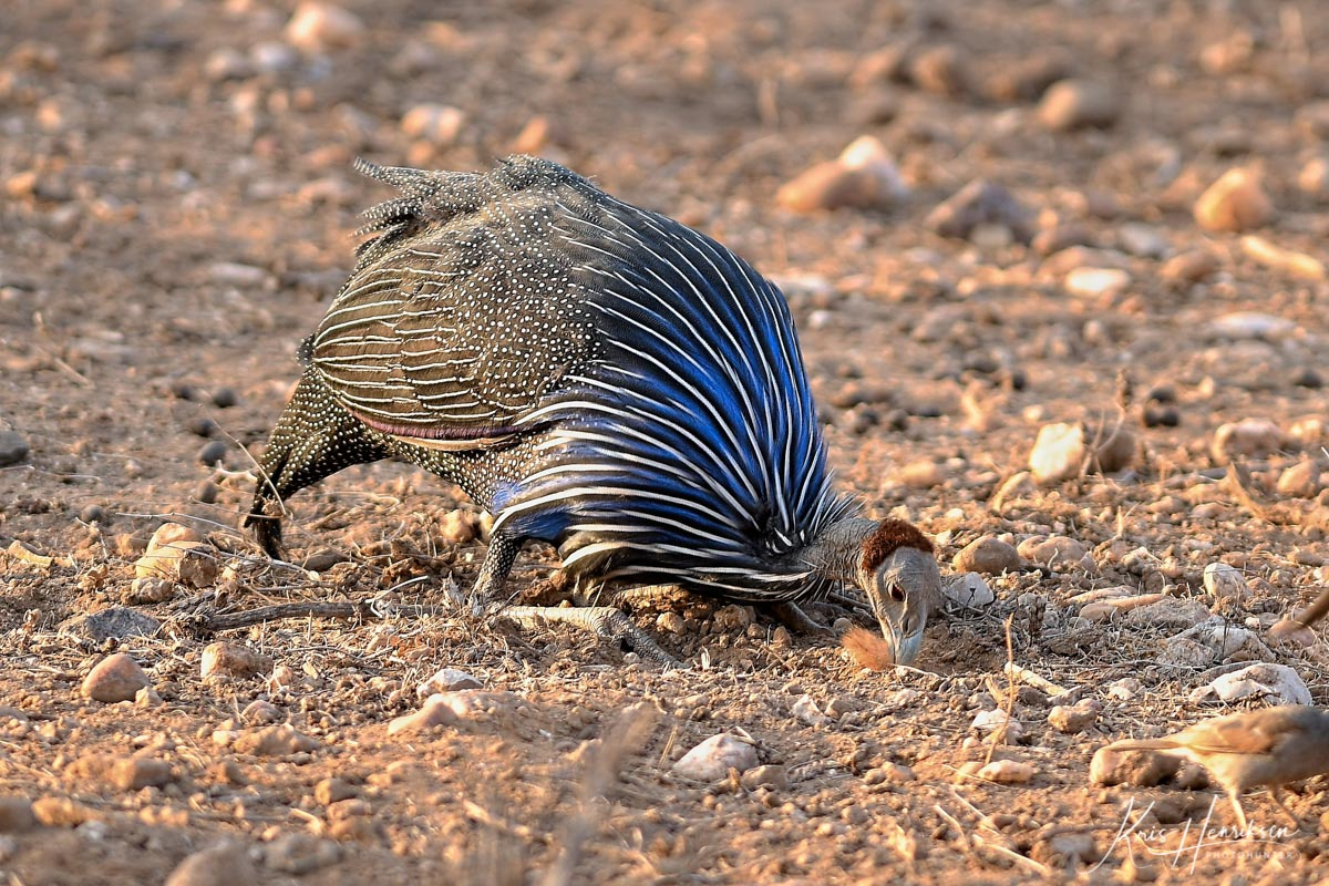 Vulturine guineafowl Samburu