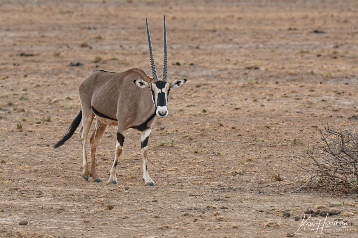 Oryx Samburu