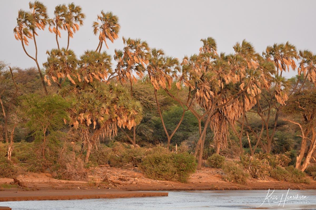 Doum palmer ved Den Brune Flod Samburu