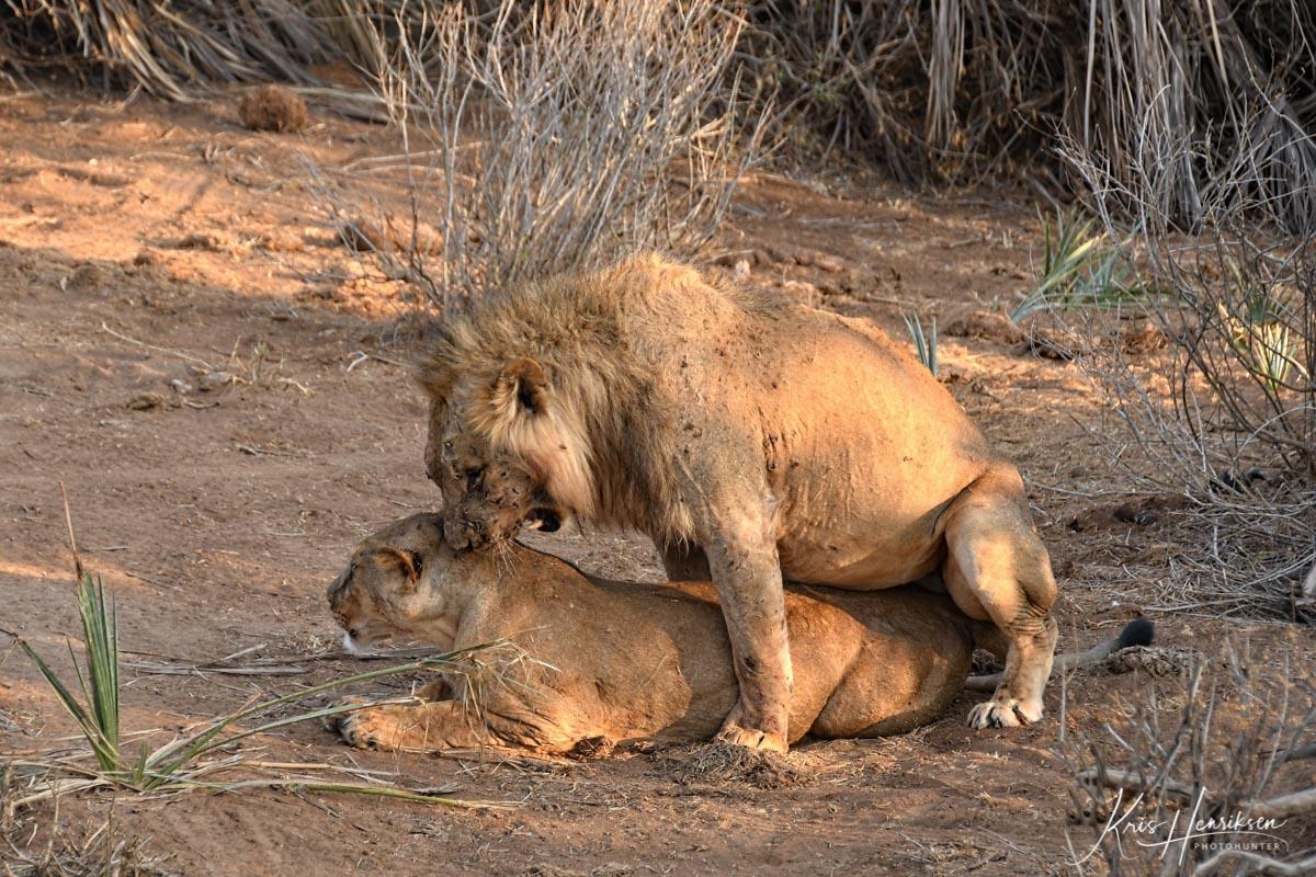 Løve parring Samburu