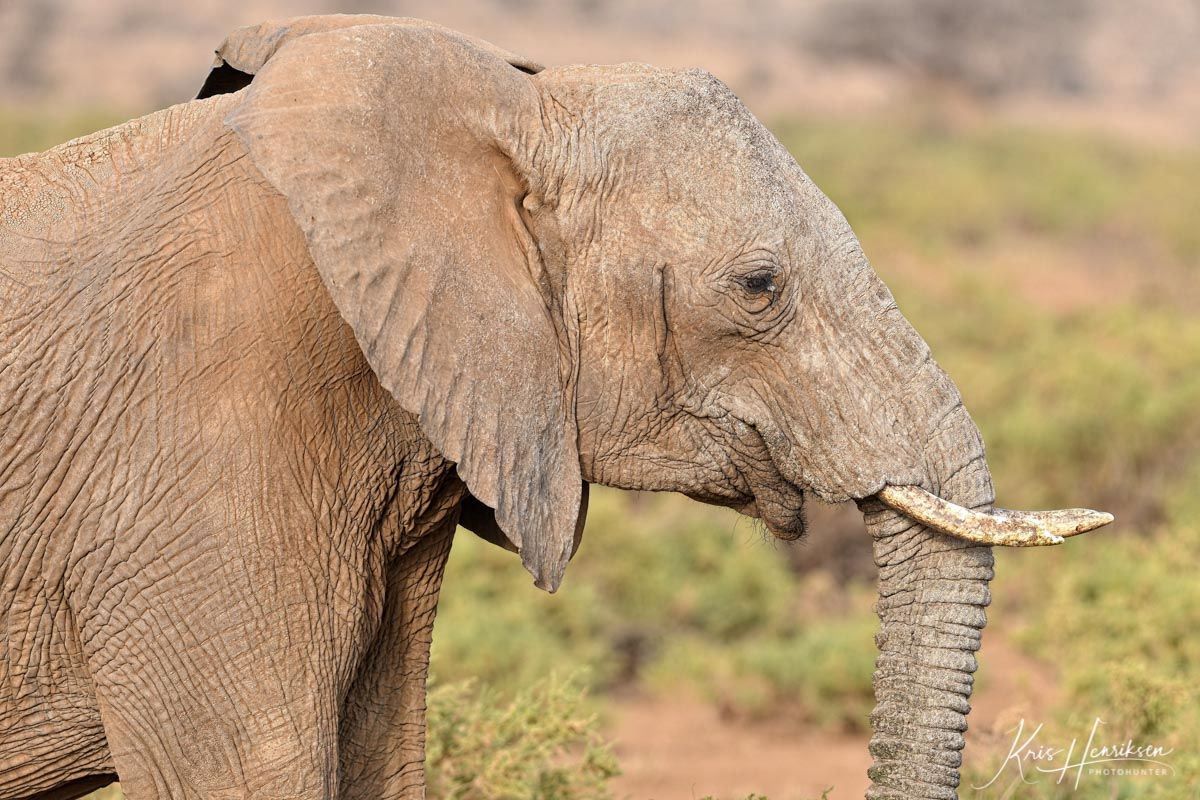 Elefant Samburu