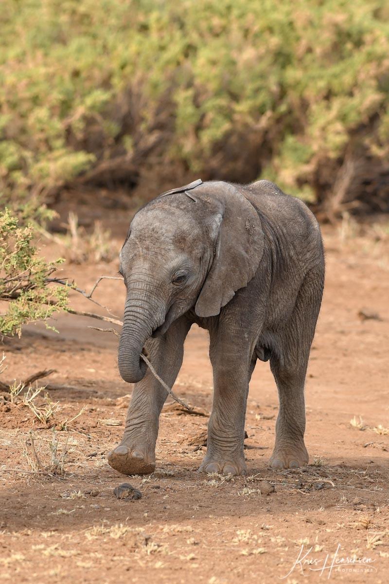 Elefant unge Samburu