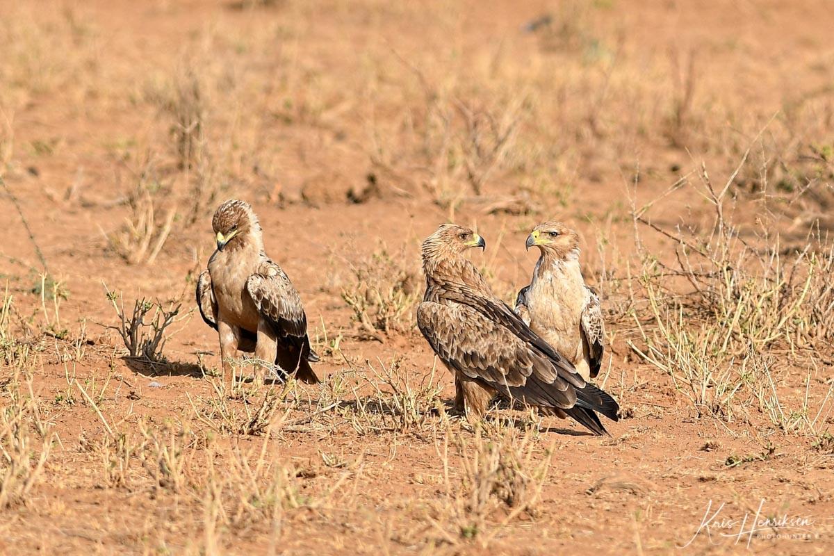 Rovørne Samburu