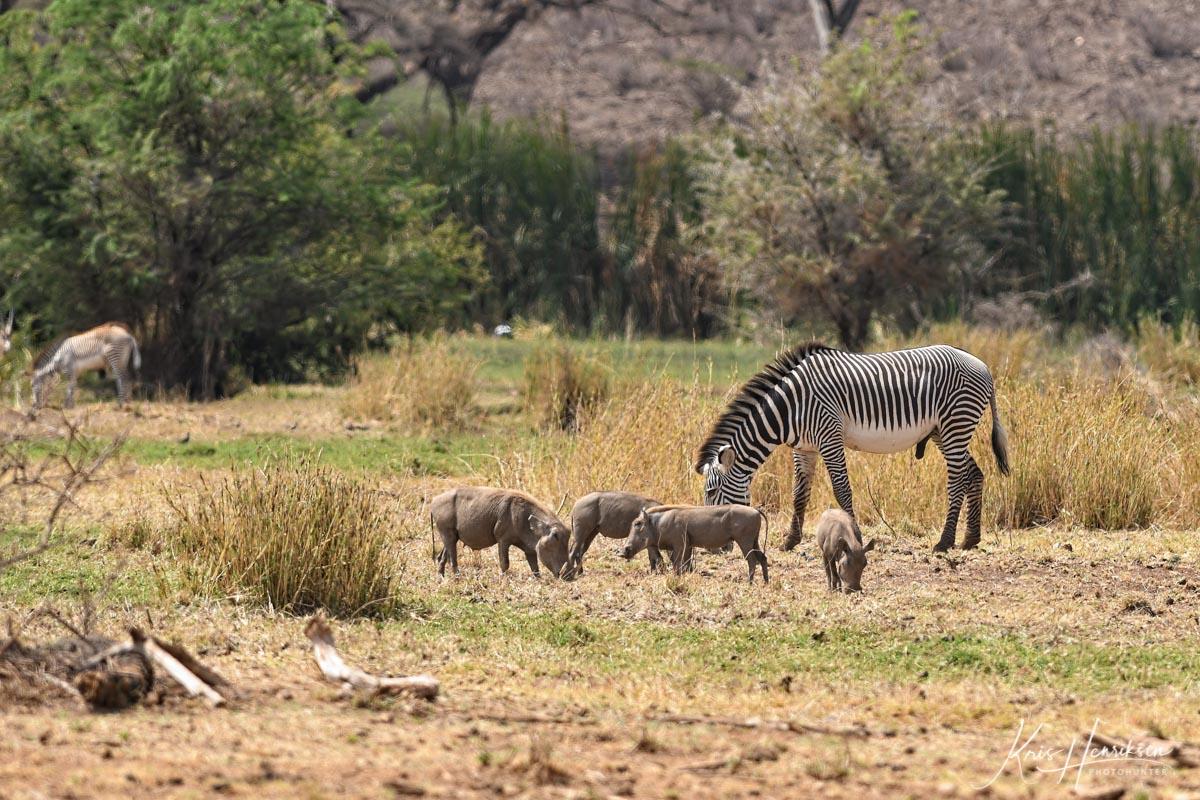 Grevy Zebra og Pumbaer
