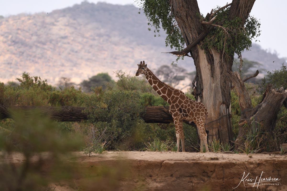 Net Giraf Samburu