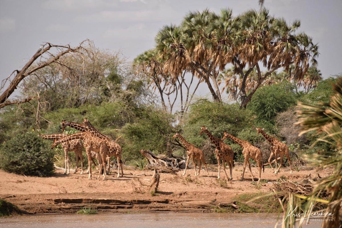 Net Giraffer Samburu