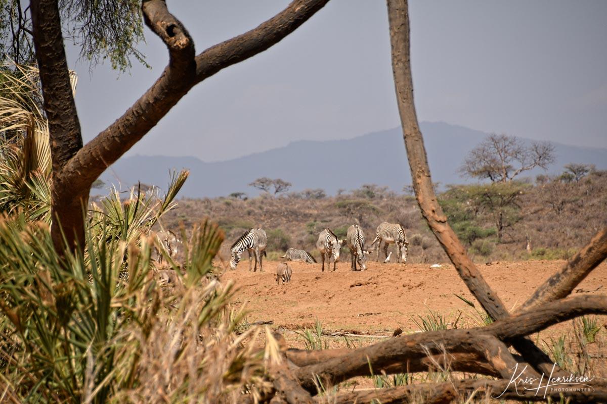 Grevy zebraer Samburu