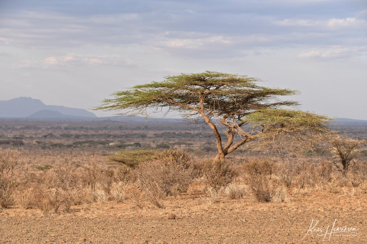 acacia træ Samburu