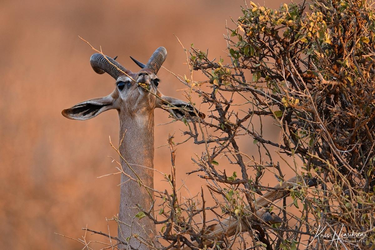 Gerenuk Samburu