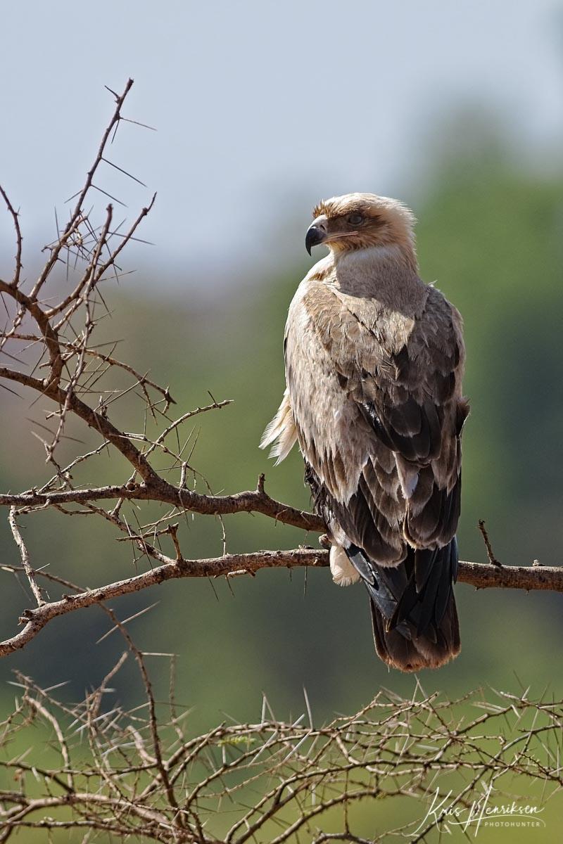 Rovørn Samburu