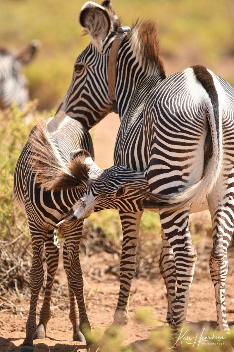 Grevy zebra med føl Samburu