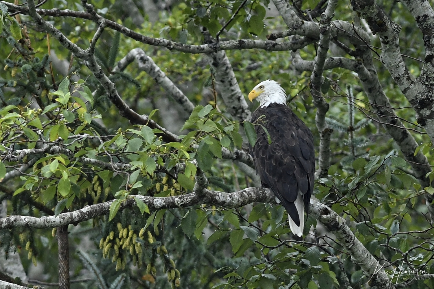 Bald Eagle, Knight Inlet