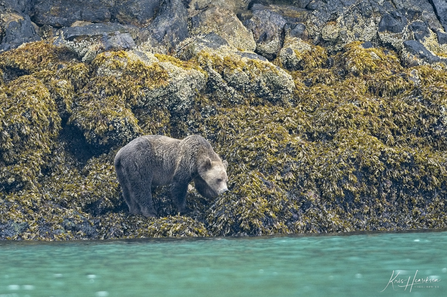 Grizzly Knight Inlet 1