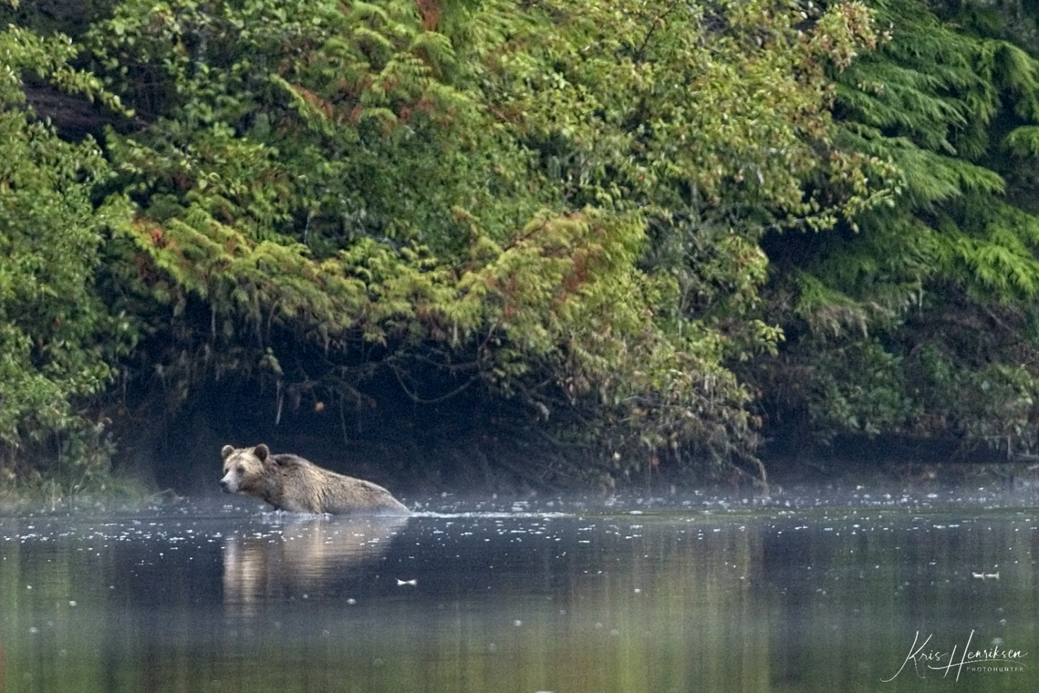 Grizzly i vandet, Knight Inlet